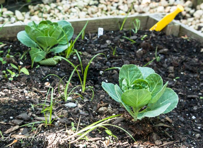 Andrea Meyers - Brussel sprouts in our garden.