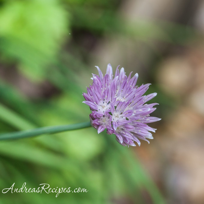 Chive Blossom - Andrea Meyers