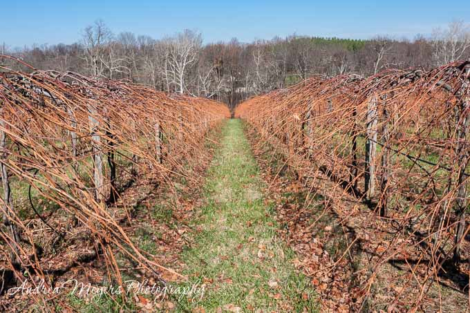 Rows of Harvested Grapes, Chrysalis Winery - Andrea Meyers