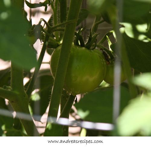 Andrea's Recipes - Early Girl tomatoes