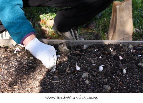 Andrea Meyers - Michael planting garlic