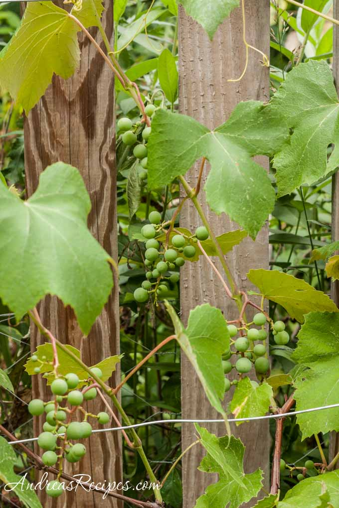 Andrea Meyers - Concord grapes on the vine