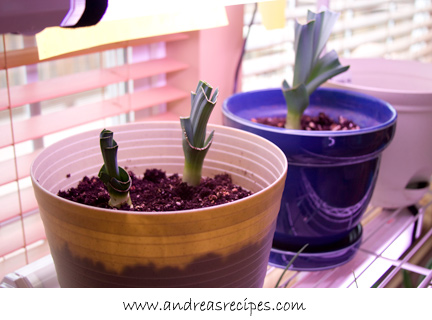 Andrea's Recipes - growing leeks in pot