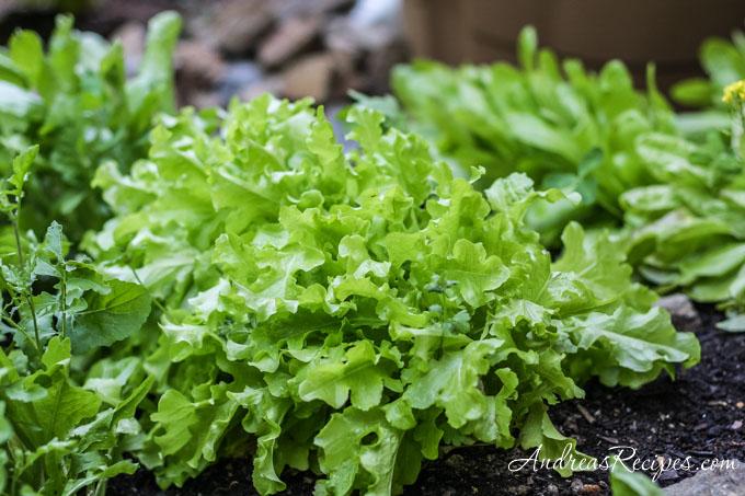 Andrea Meyers - Lettuce in our garden.