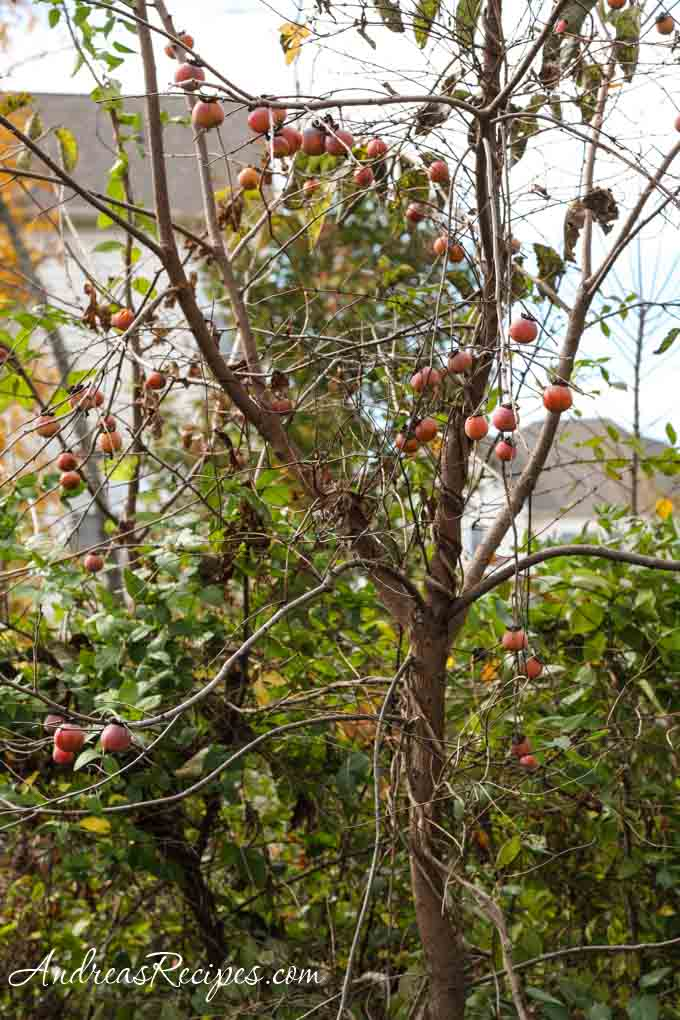 Andrea Meyers - Persimmon tree with ripe fruit