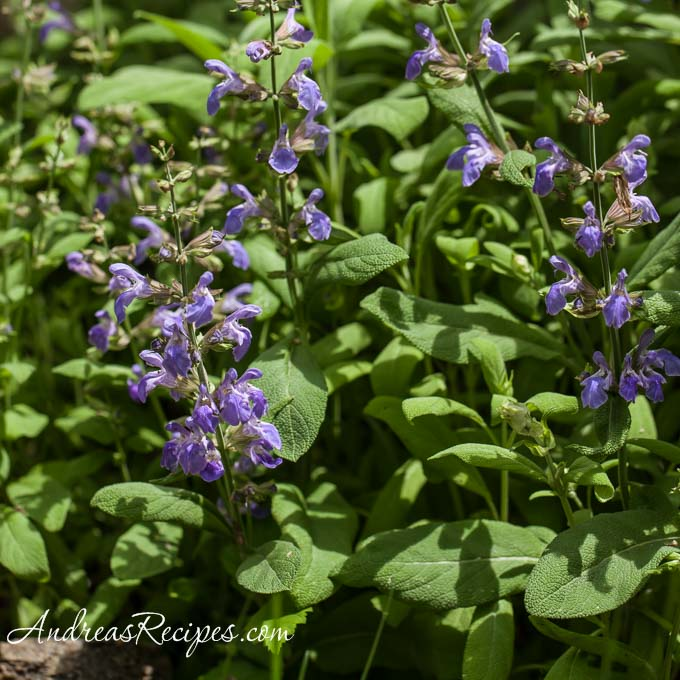 Sage in bloom - Andrea Meyers