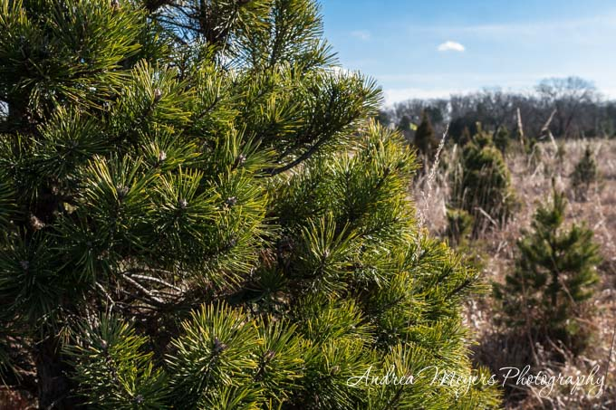 Andrea Meyers - Ticonderoga Farms Christmas Trees