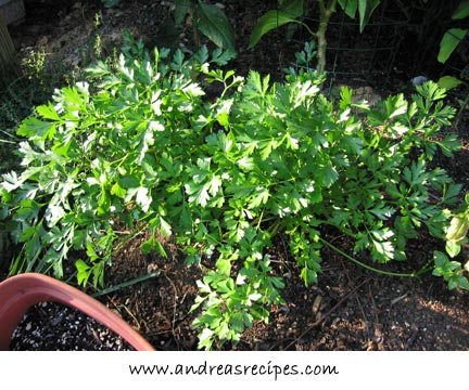Andrea's Recipes - Parsley, regrowth