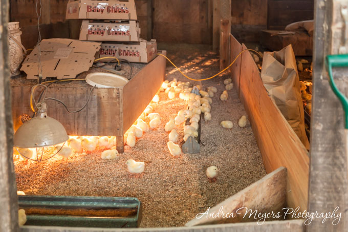 Baby chicks at Whiffletree Farm - Andrea Meyers