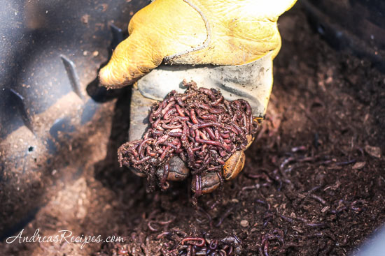 Andrea Meyers - A handful of red wigglers.