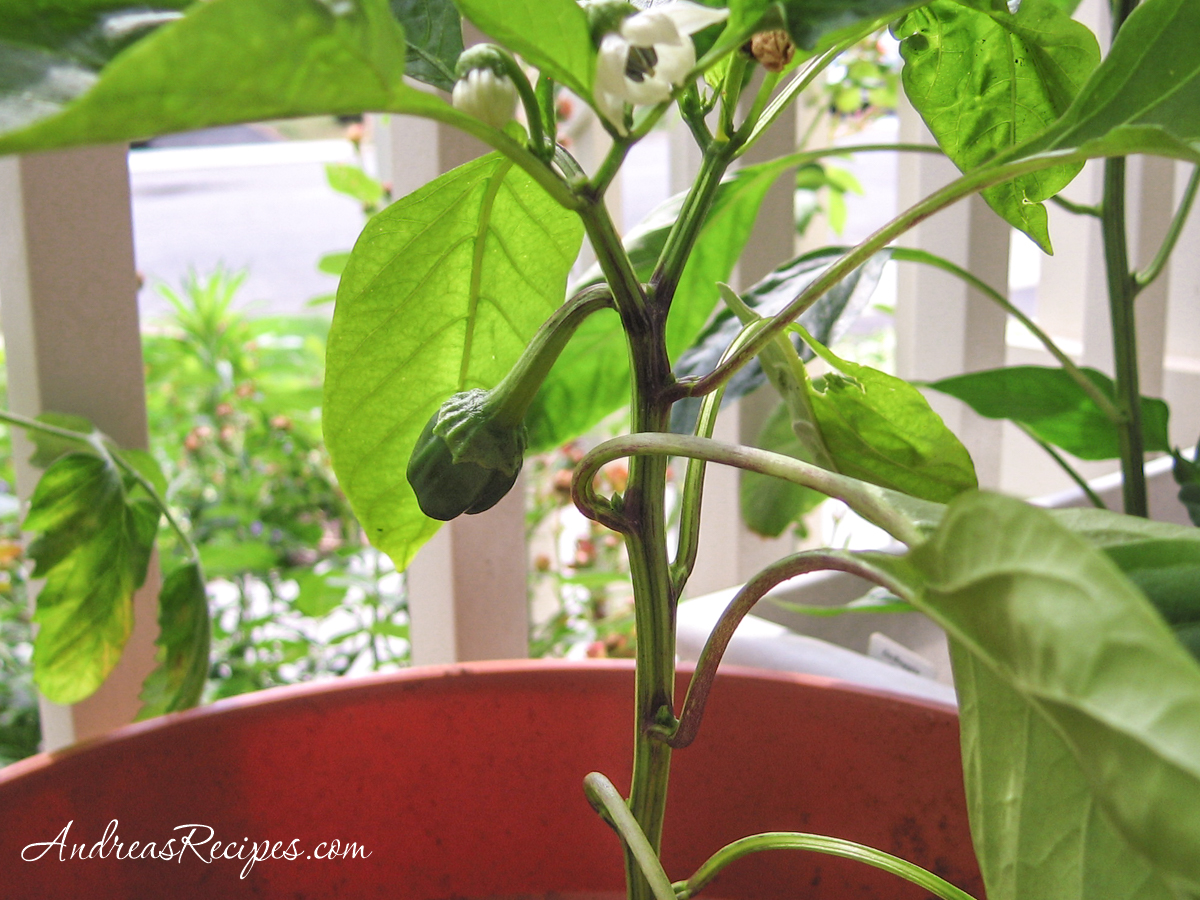 Pepper plant on our front porch - Andrea Meyers