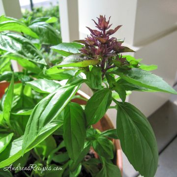 Thai basil in a container on our porch - Andrea Meyers