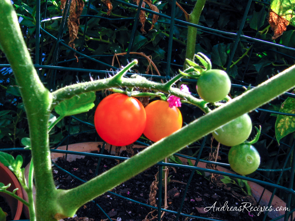 Second tomatoes of the summer - Andrea Meyers
