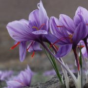 Saffron crocuses in Iran