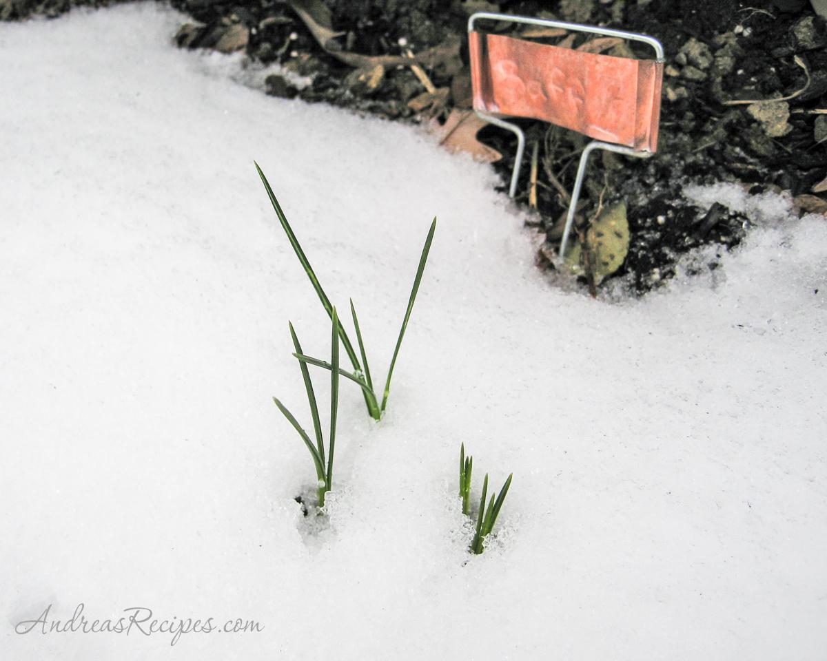 Saffron in the Snow - Andrea Meyers
