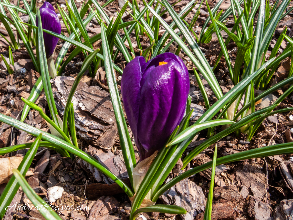 Purple crocus in our garden - Andrea Meyers