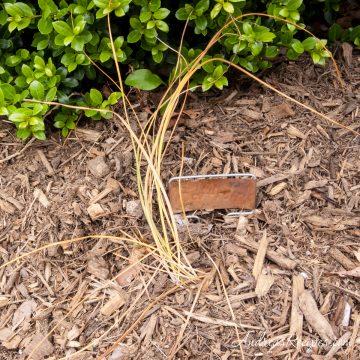 Saffron plant, dormant - Andrea Meyers