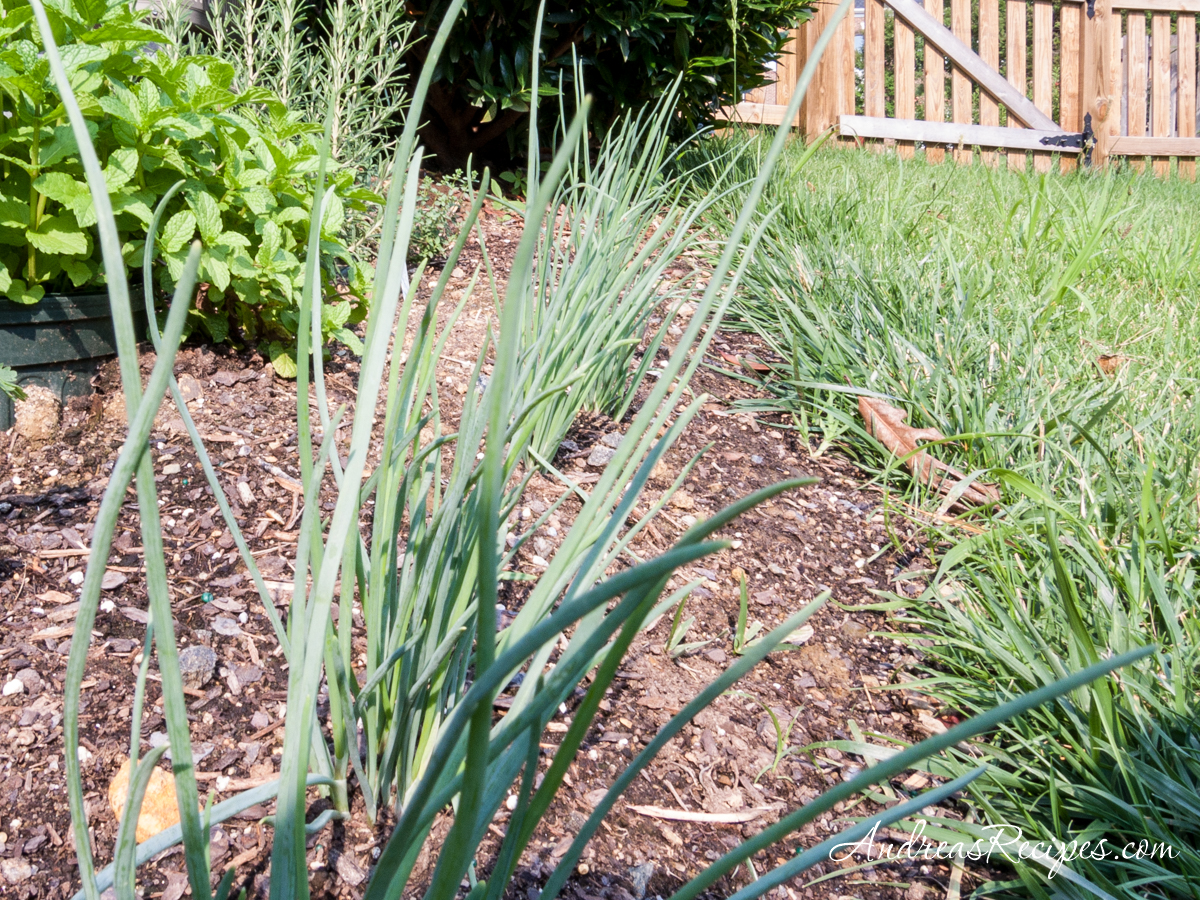 Shallots in our garden - Andrea Meyers