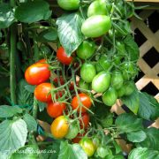 Clusters of grape tomatoes - Andrea Meyers