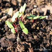 Chard sprouts in September - Andrea Meyers
