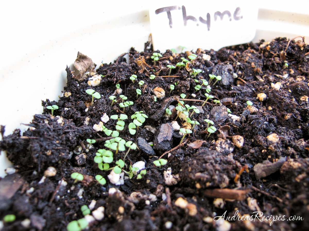 Thyme sprouts in September - Andrea Meyers
