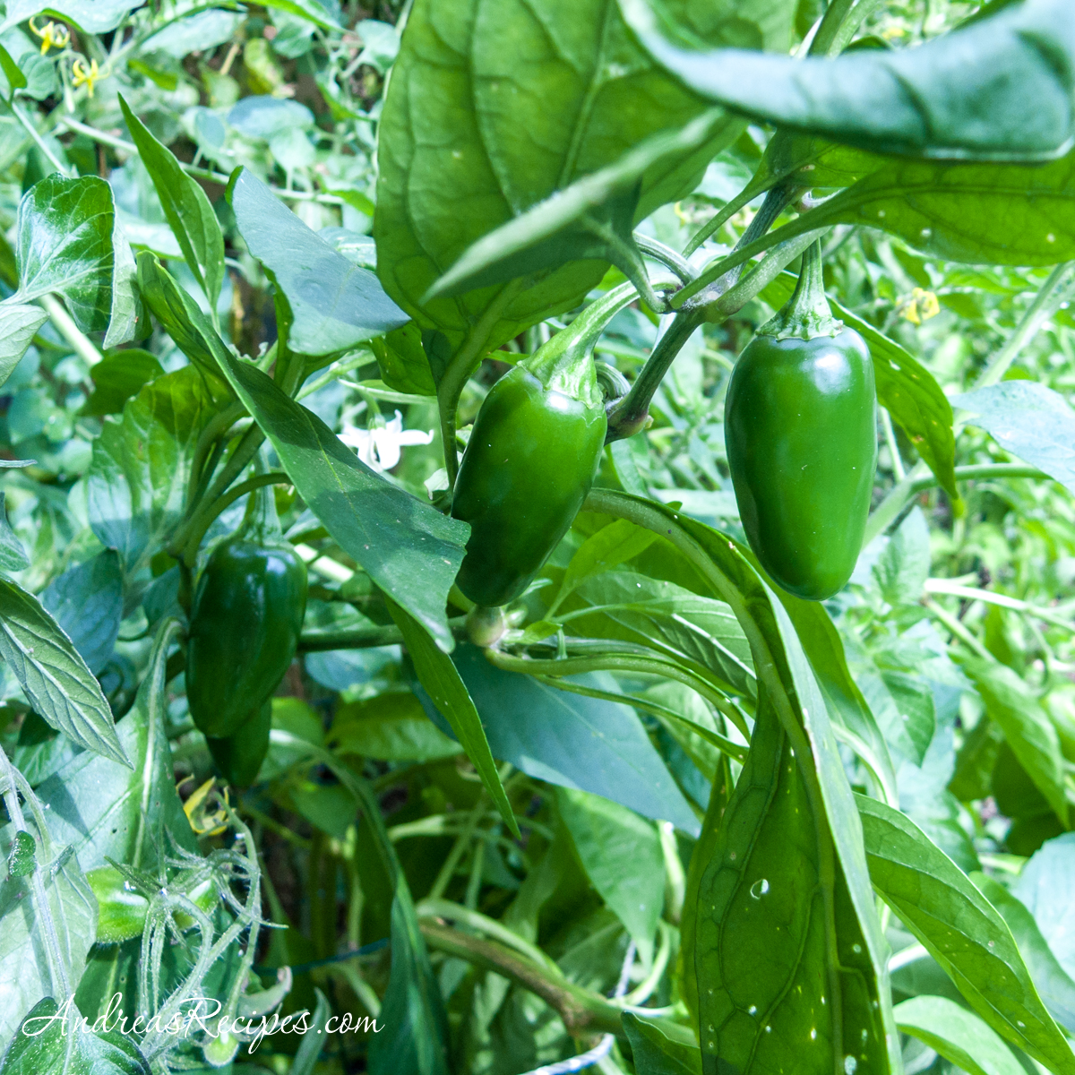 Jalapeño peppers in the garden - Andrea Meyers