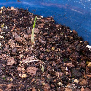 Saffron sprouts - Andrea Meyers