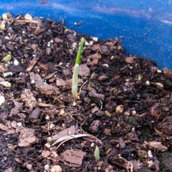The Saffron Experiment: One Year, New Sprouts