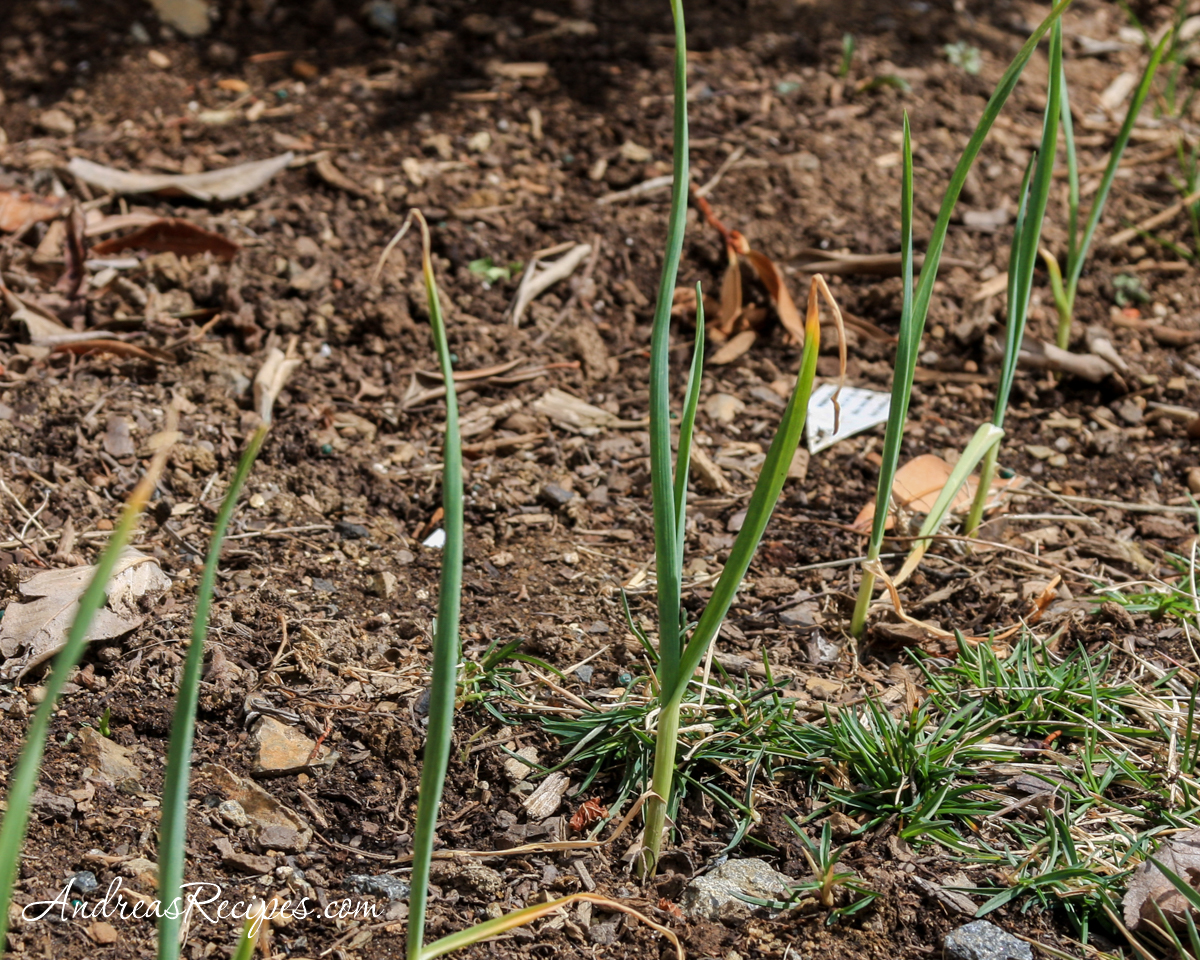 Garlic in March - Andrea Meyers