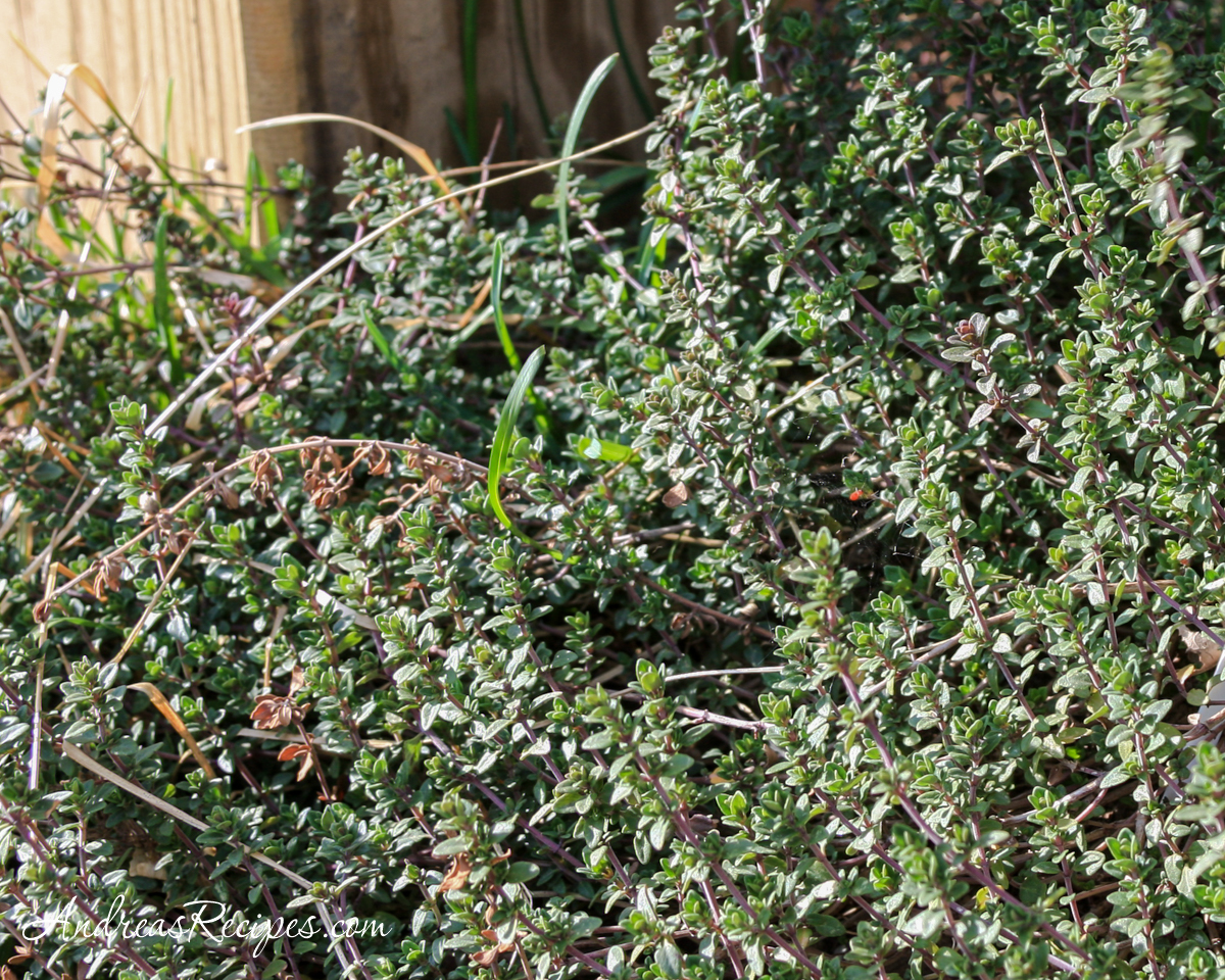 Thyme in March - Andrea Meyers