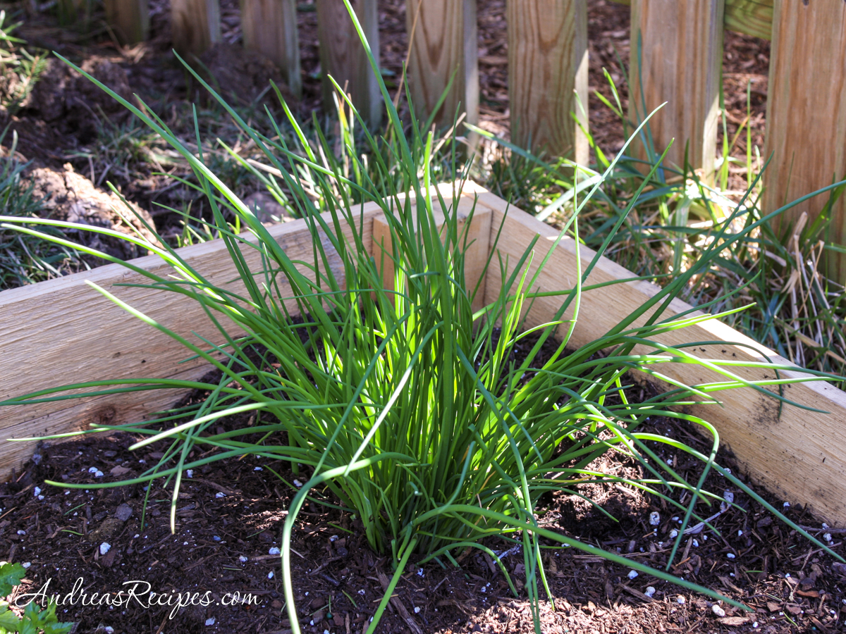 Chives in our garden - Andrea Meyers