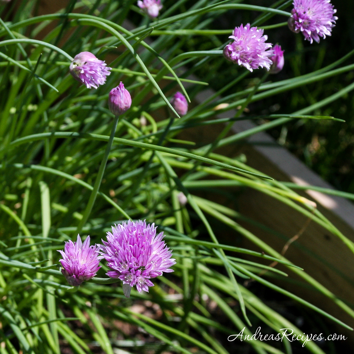 Chive Blossoms - Andrea Meyers
