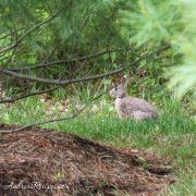 Wild rabbit in our yard - Andrea Meyers