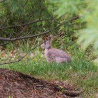 Rabbit in the vegetable garden - Andrea Meyers