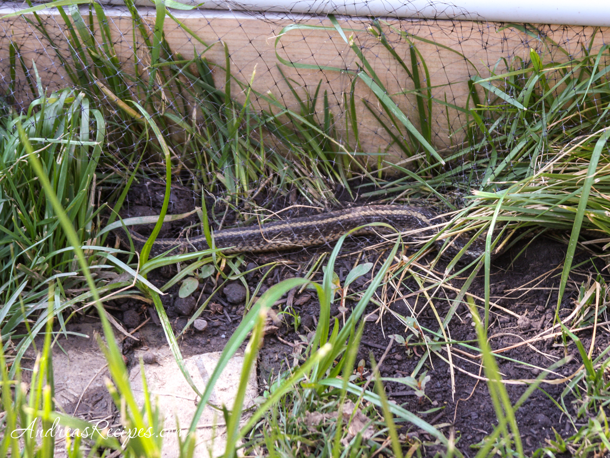 Garden snake next to the raised bed - Andrea Meyers