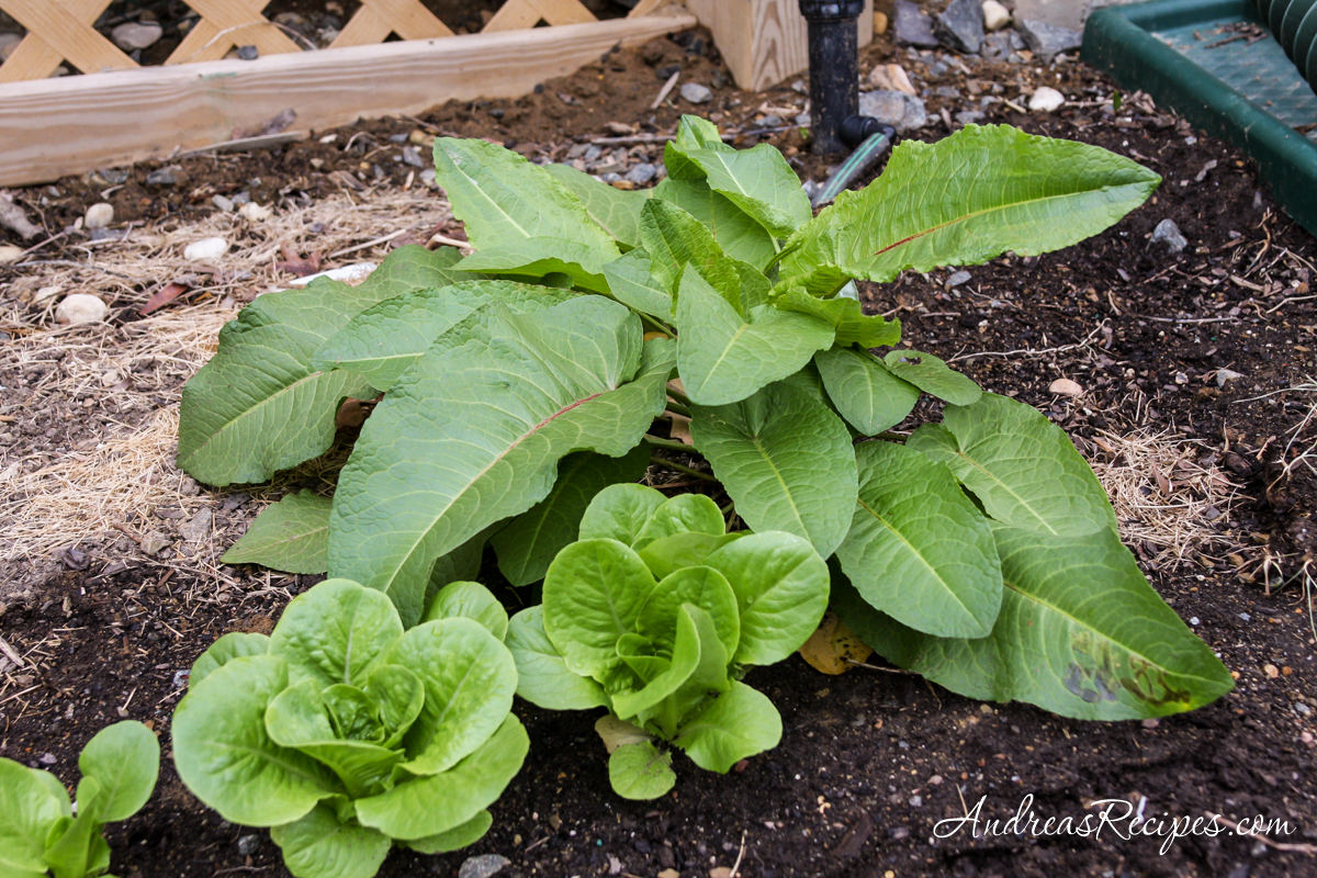 Tatsoi and butterhead lettuce plants - Andrea Meyers