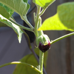 Miniature Eggplant (Ophelia) Growing in a Container - Andrea Meyers