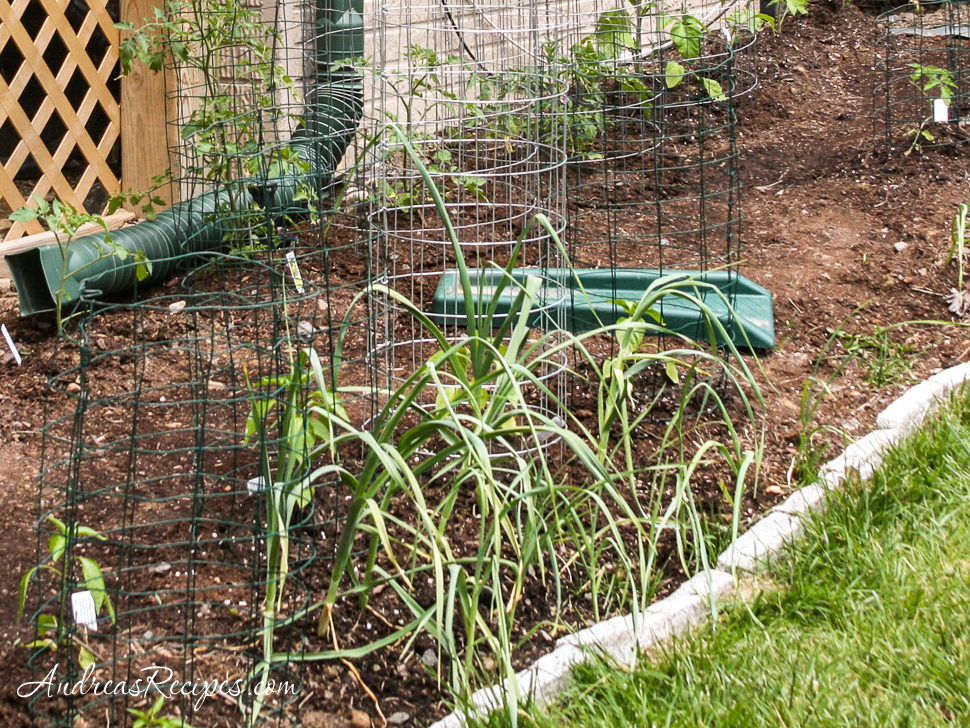 Garlic plants - Andrea Meyers