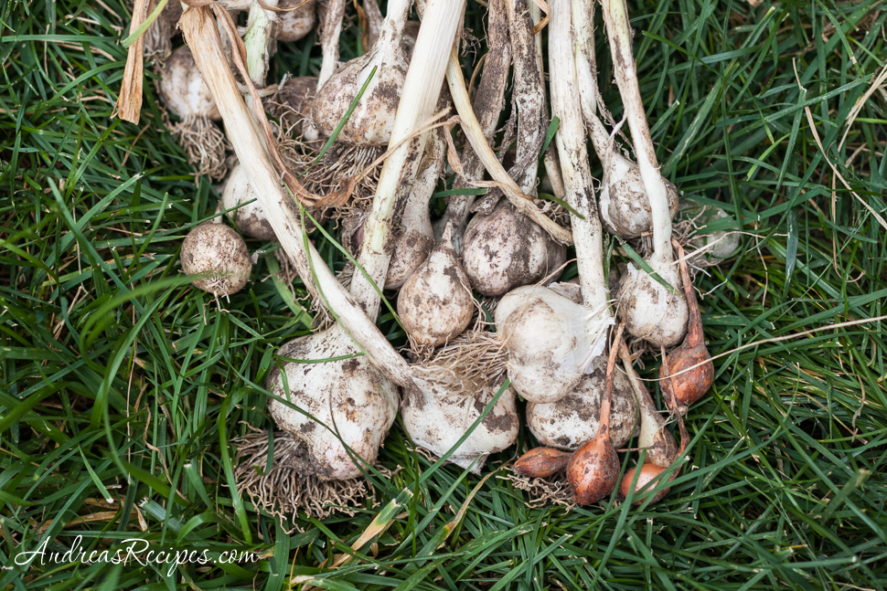 Garlic, harvested - Andrea Meyers