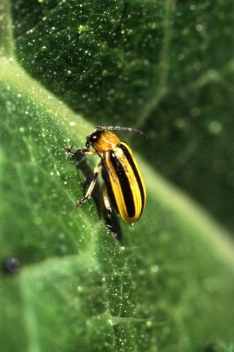 Cucumber Beetle - Wikimedia Commons