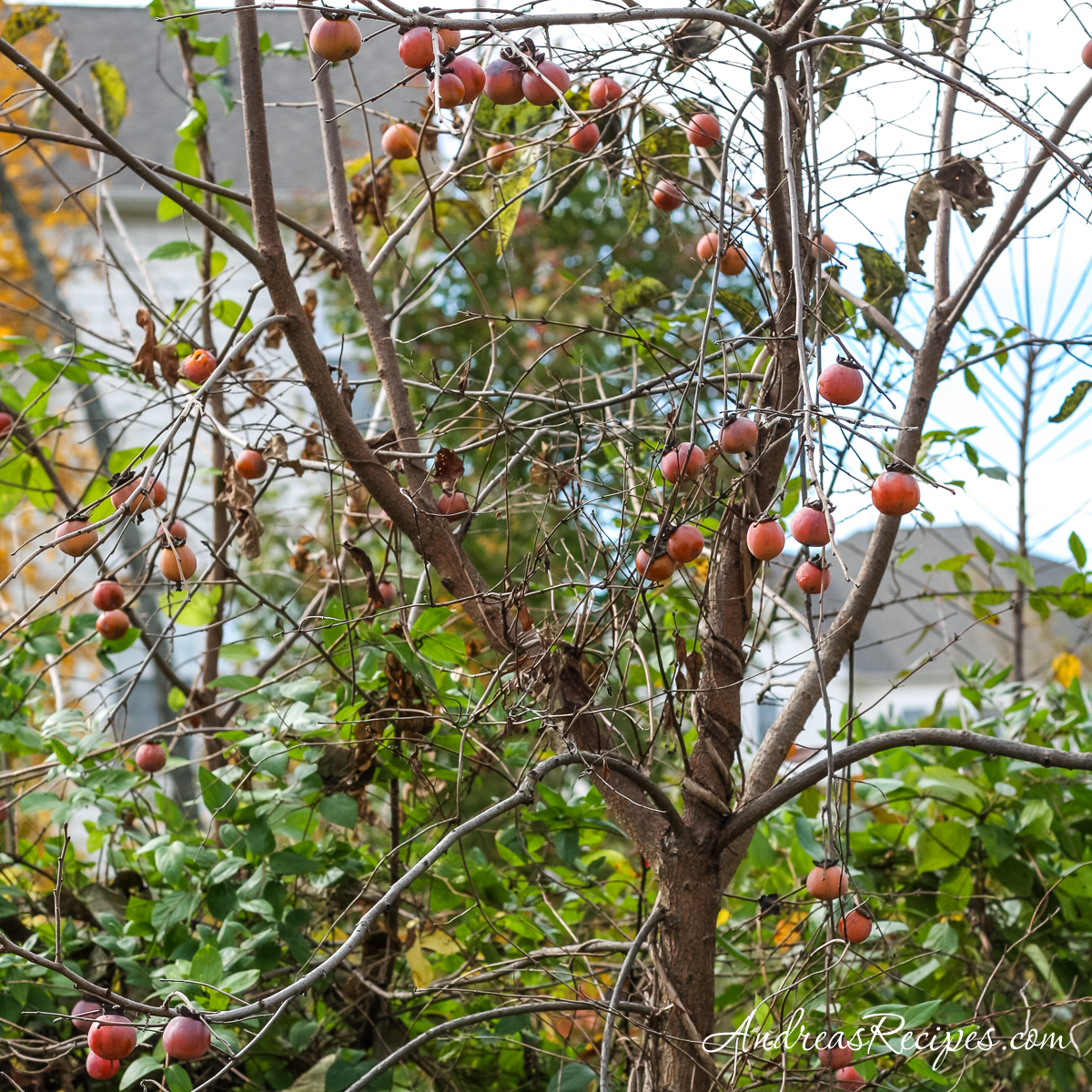 Eastern common persimmon tree with ripe fruit - Andrea Meyers