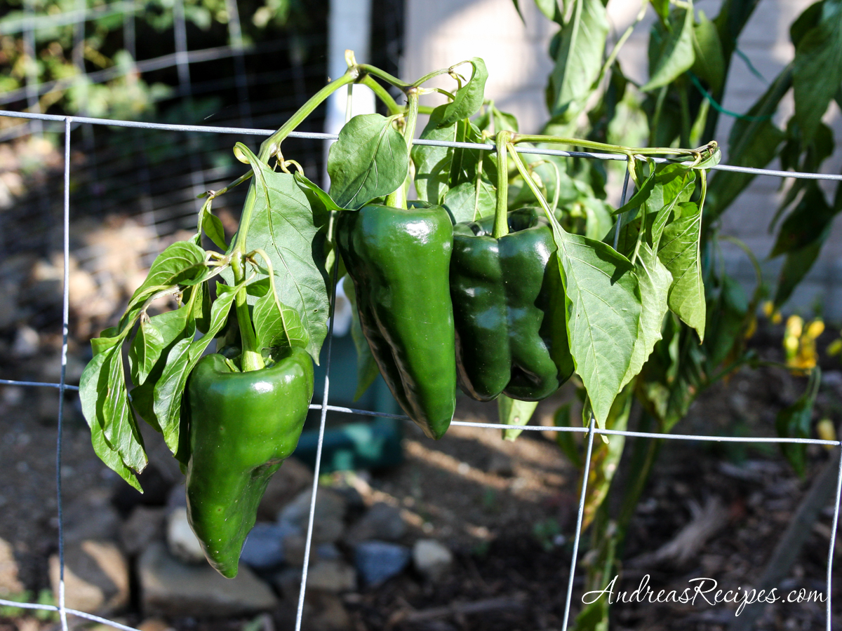 Poblano peppers in our garden - Andrea Meyers