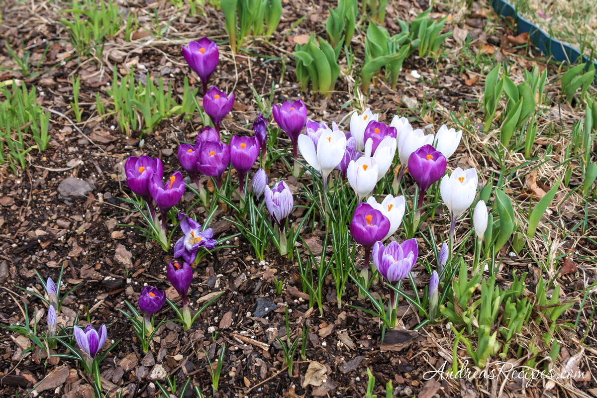 Crocuses in our flower beds - Andrea Meyers