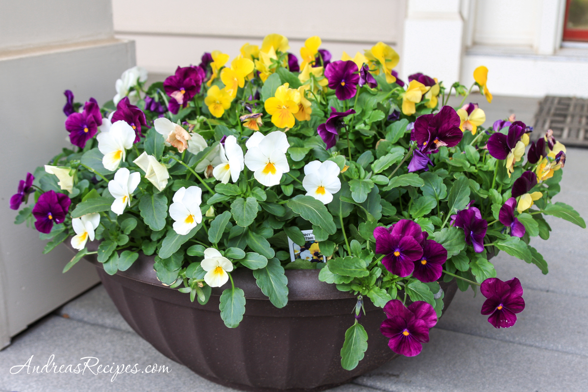 Violas in a pot on our porch - Andrea Meyers