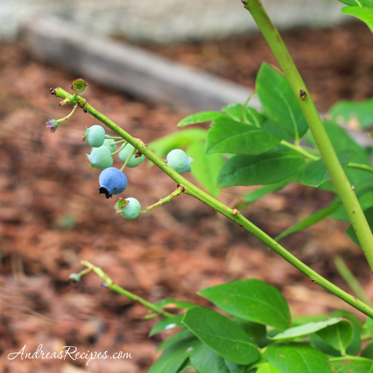 Blueberries in our garden - Andrea Meyers