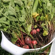 Radishes and snowpeas harvest from our garden - Andrea Meyers
