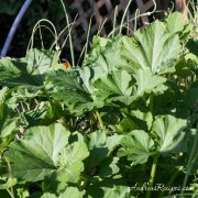 Squash plants in a mixed garden bed - Andrea Meyers