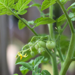 Weekend Gardening: Tomato Updates