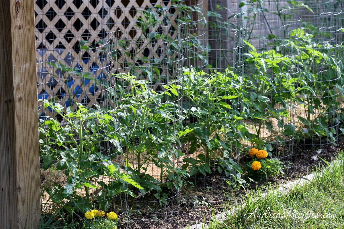 Tomatoes topping the cages - Andrea Meyers