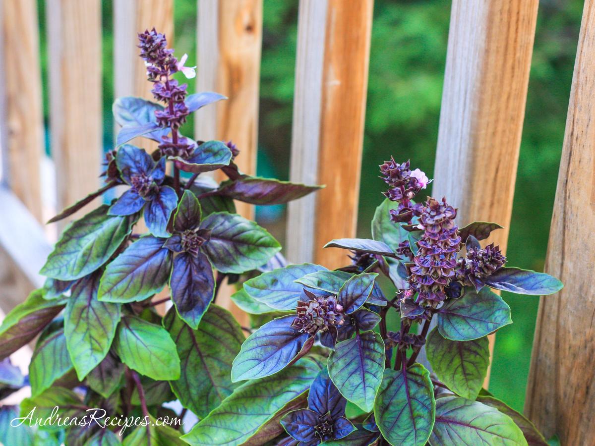 Purple basil in flower - Andrea Meyers